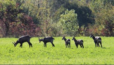 Jura, Région des lacs. Rare ! Propriété équestre 4 ha site idyllique, proche lac de Vouglans., Famille de chamois